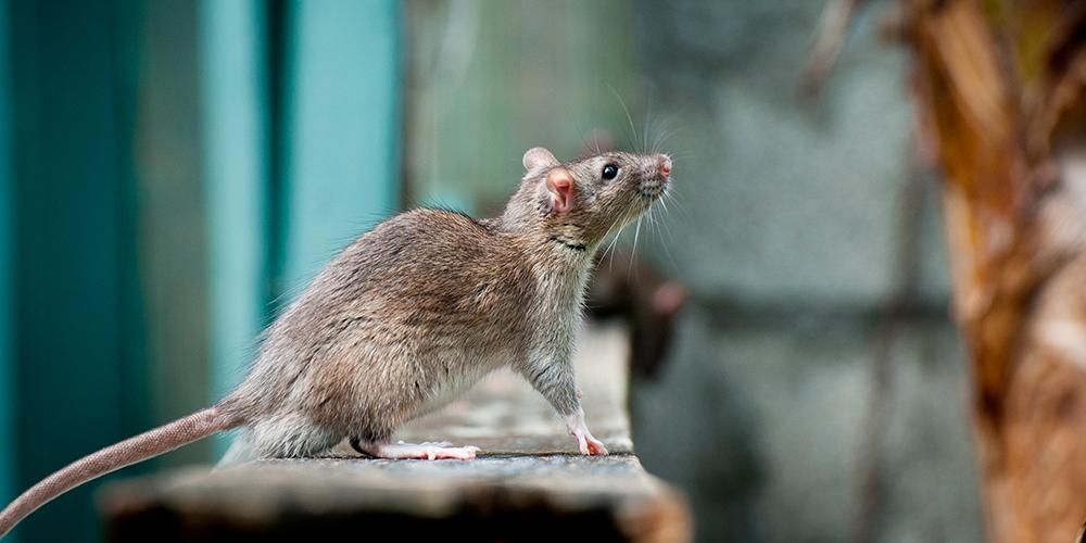 muizen slimmer door menselijke hersencellen